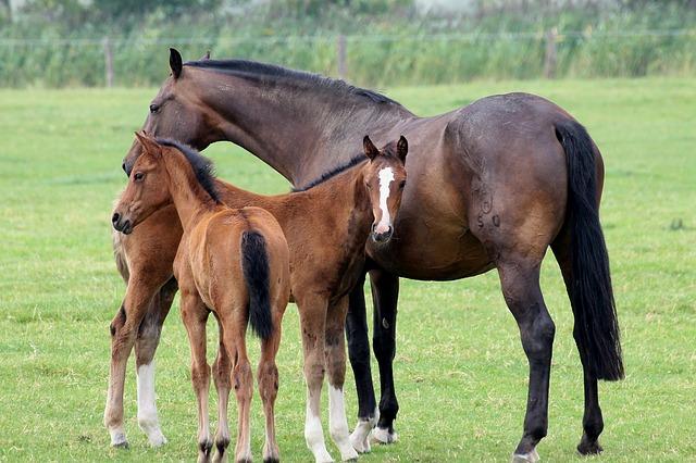 alimentación de la yegua en la gestación y lactancia