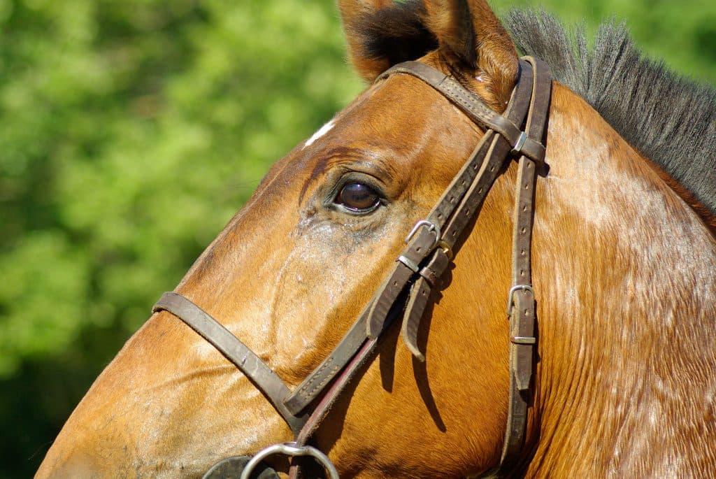 Problemas de salud en la piel del caballo